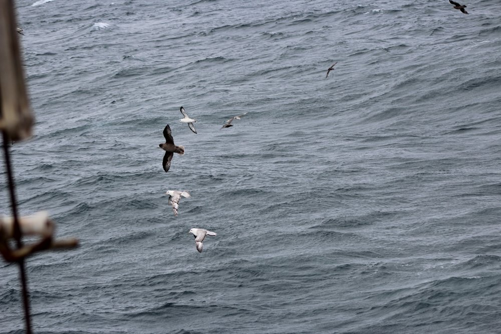 Northern Fulmars dance between the swells of the Chukchi Sea near Point Hope.Photo credit: Harmony Wayner