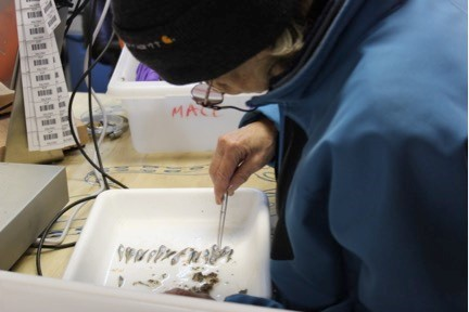 Nataliya meticulously sorting the juvenile Arctic cod. Photo credit: Alicia Flores
