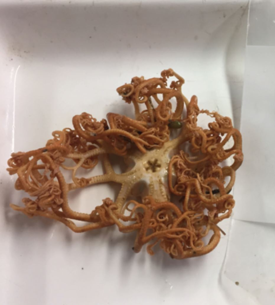 Basket star! Gorgonocephalus sp. in all its glory. Photo credit: Alicia Flores