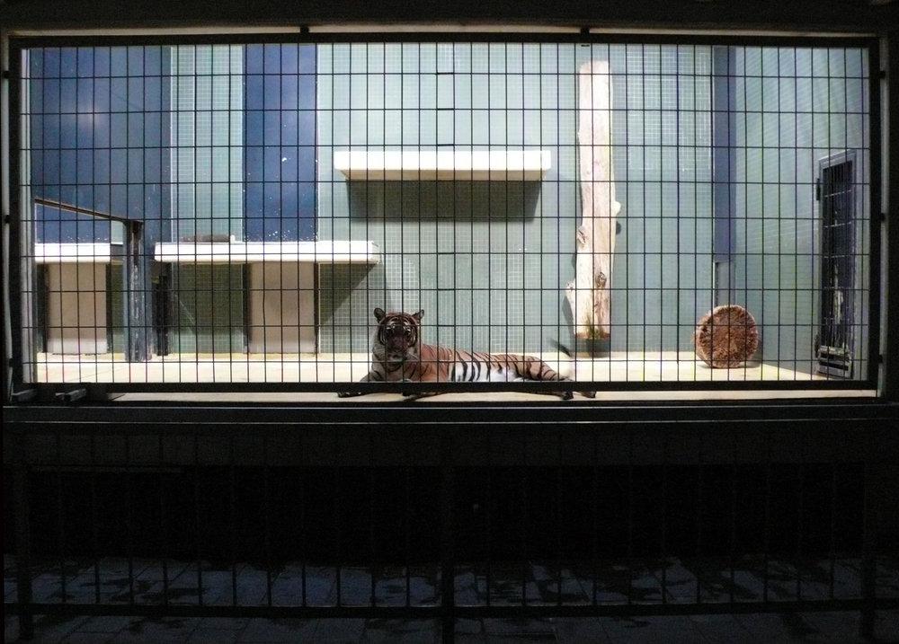 Berlin Tiger
