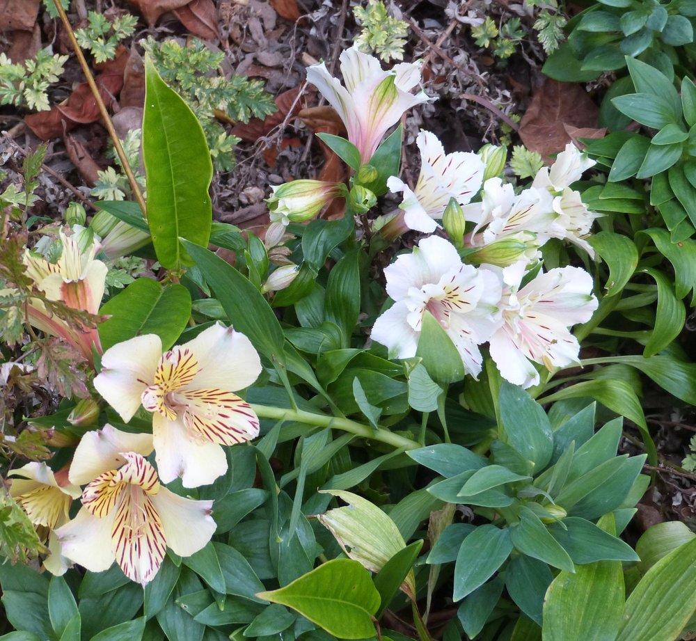 Alstromeria Princess lily