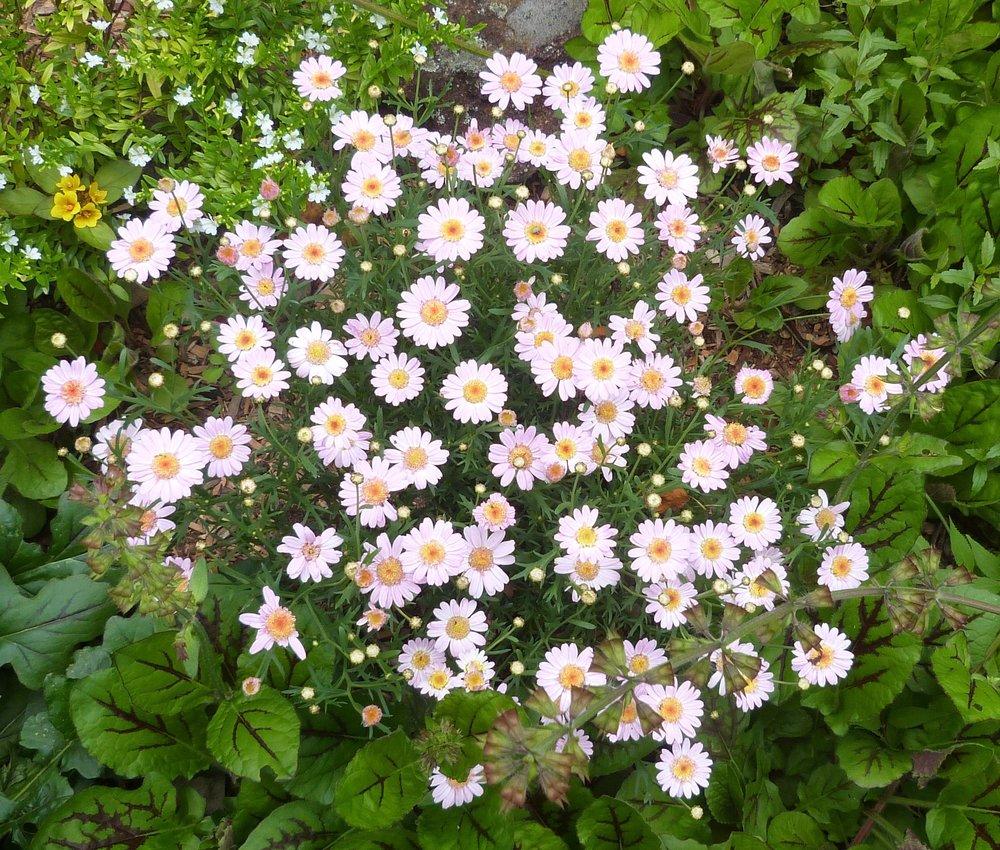 Marguerite daisy