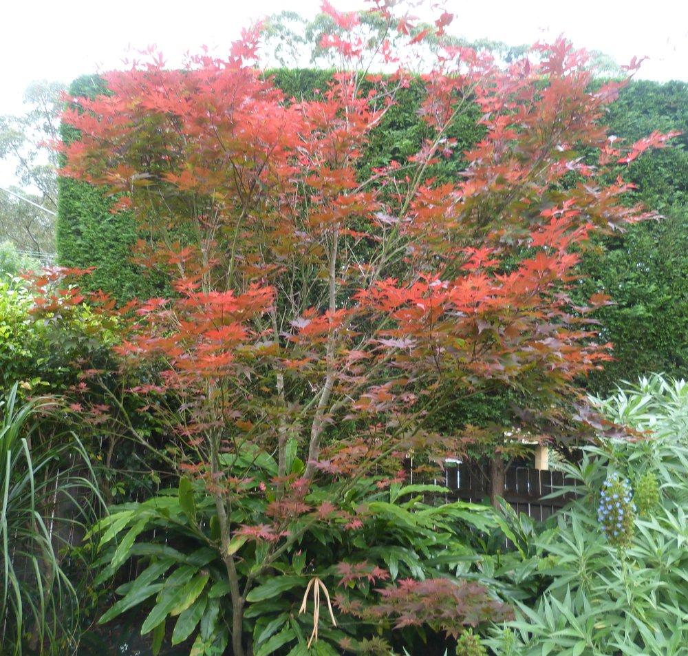 Maple Acer palmeratum