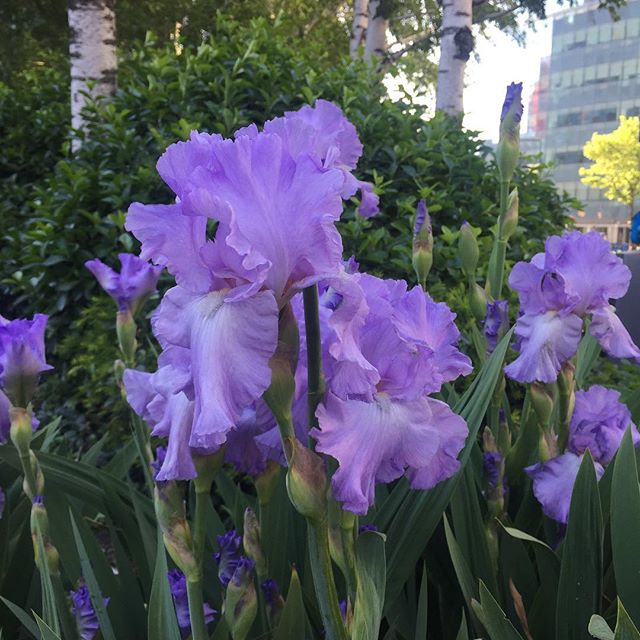 Summer is here!  Take the train to Court Square in Long Island City You'll find these beautiful Irises blooming and the LIC Arts Open @licartsopen happening all weekend long! So many great artists here in LIC. Get out and support them. Make a weekend of it!  Find out more at www.licartsopen.org