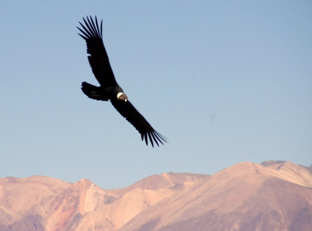 Flying High Condor Colca Canyon, Arequipa Peru