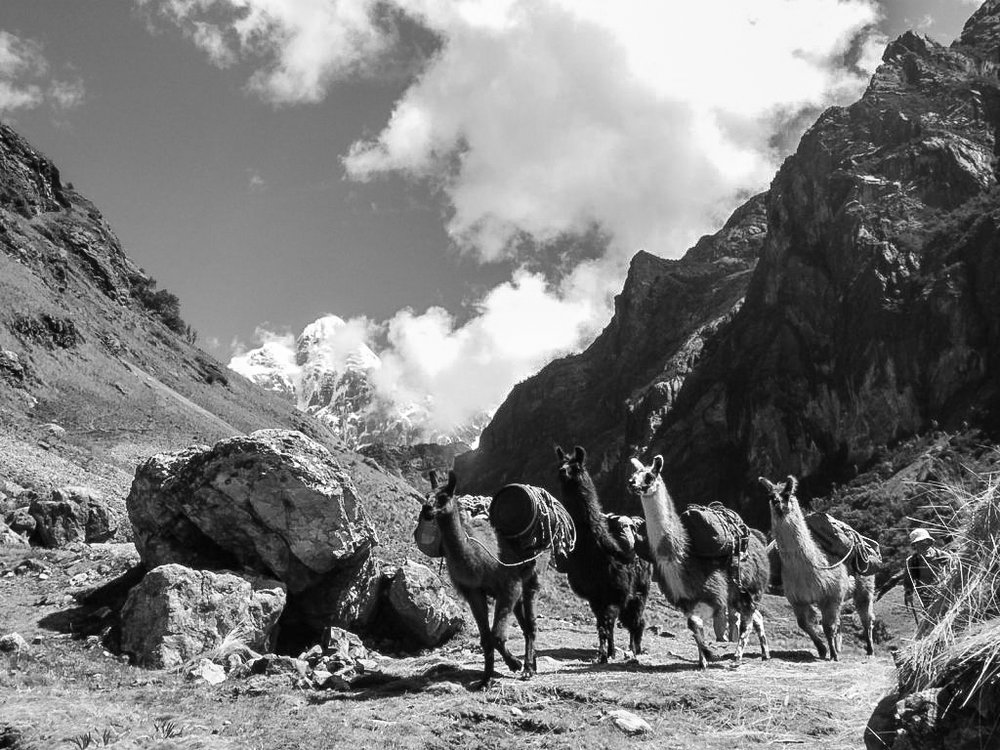 Llamas having a morning race to the next campsite, Huayhuash, Peru