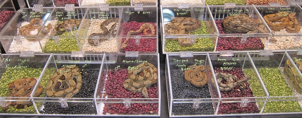 Look at all the lovely, identical snakes for sale at the  pet store ! How can I choose?