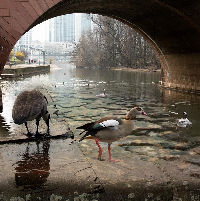 Geese_websquare.jpg