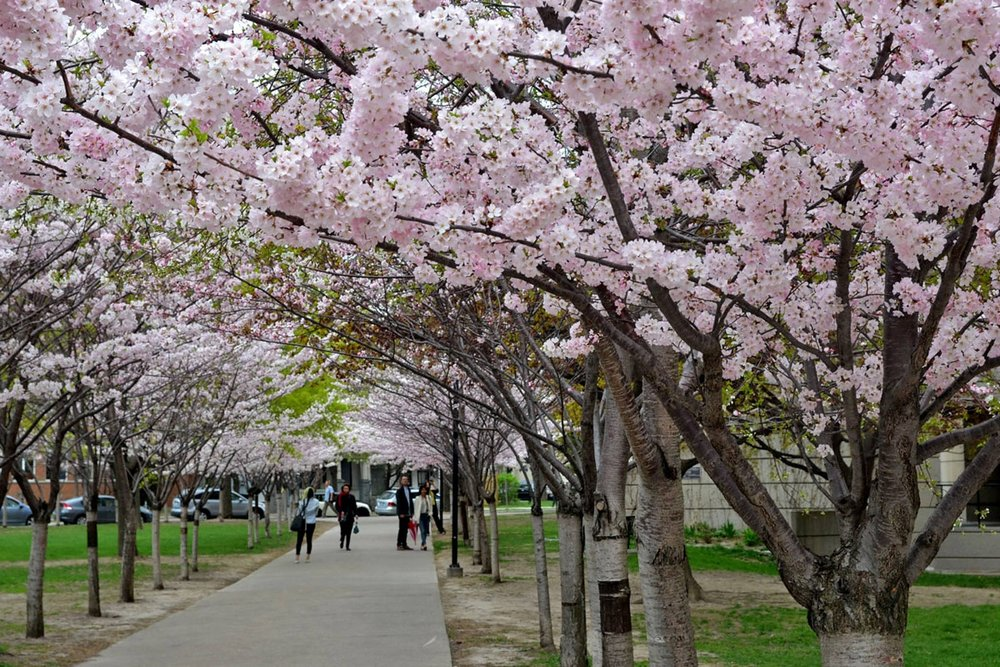 Cherry Blossoms in High Park   Late-April, High Park   While High Park is lovely year round, with its beautiful walking trails, dog park, and Zoo, it becomes a tourist and local haven in springtime, when the highly longed after Cherry Blossoms begin to bloom. Often considered the city's most spectacular springtime event,  visitors await the beautiful explosion of pink and white flowers, anticipated to happen at the end of April.