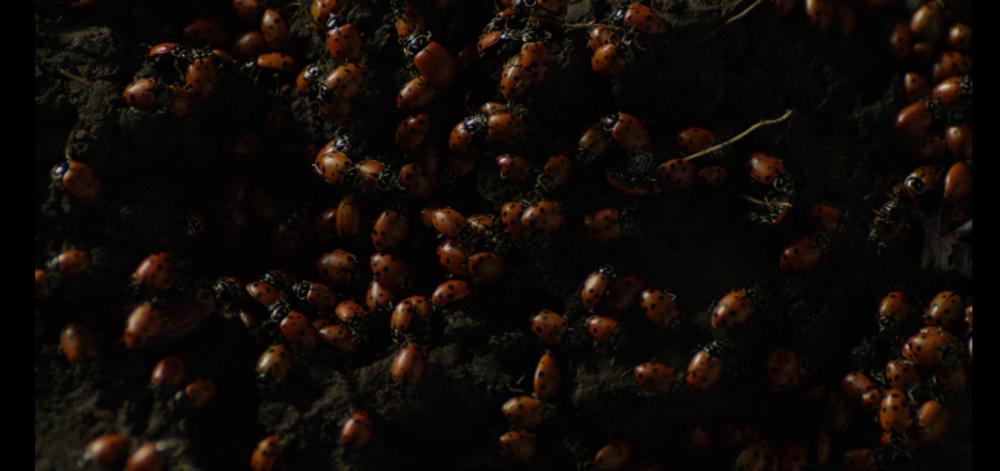 Ladybugs.png