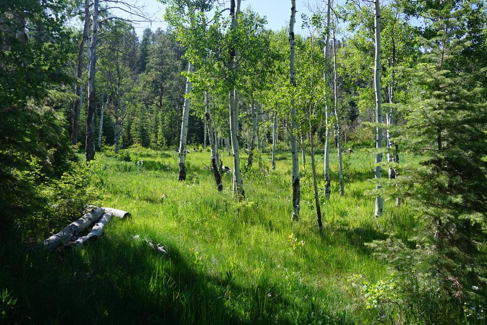 Aspen_trees.JPEG