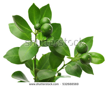 Calamondin Tree with fruit