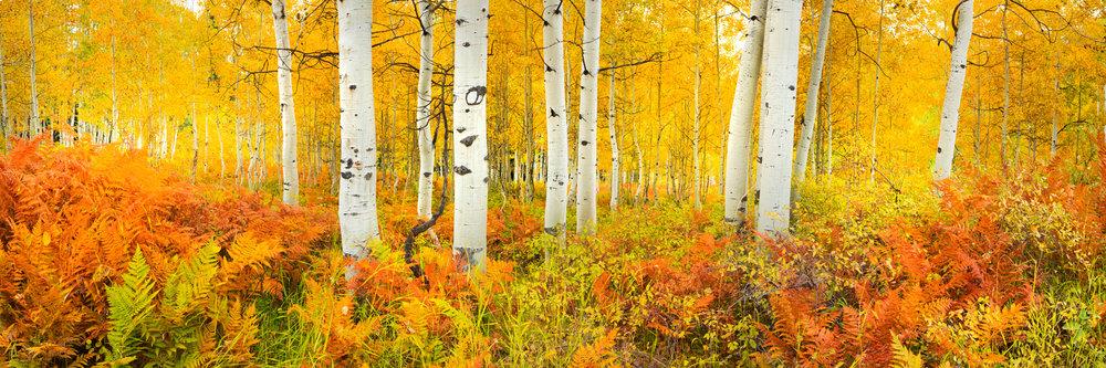Trees - Kebler Pass Ferns.jpg