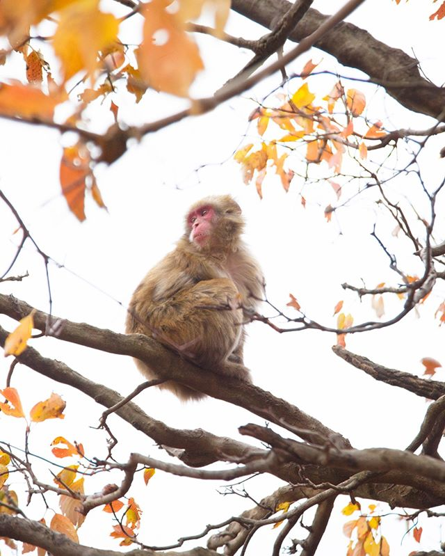 Loved getting to photograph the Snow Monkeys in Arashiyama this last fall!