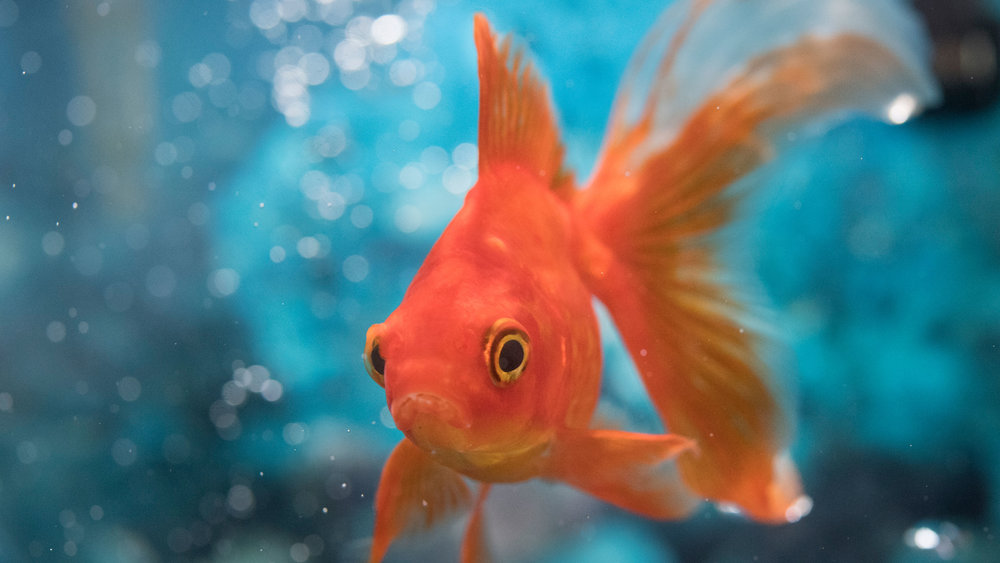 Time Magazine declared goldfish have a longer attention span than humans.You have five seconds to capture a viewers' attention -
