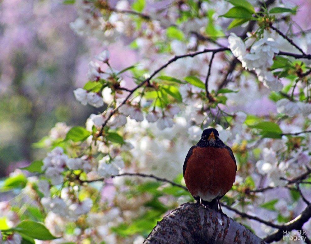 Posing-Spring-Robin.jpg