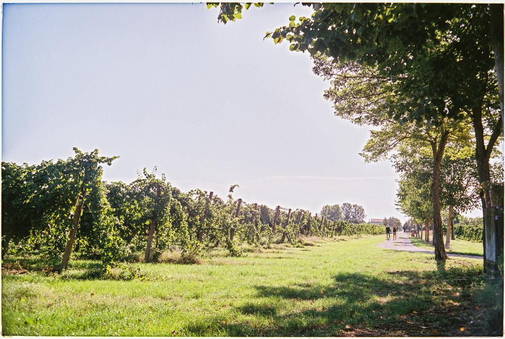 Vineyard outside of Lugo, Italy Harvest Season  2017