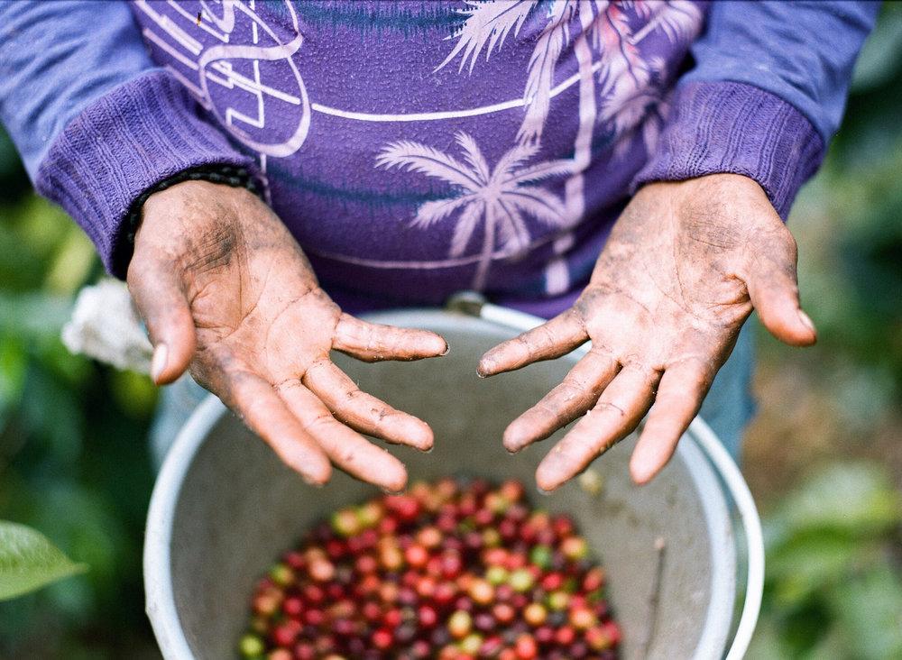 Coffee Picker's Hands Puebla, Mexico  2015