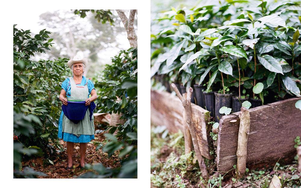 Coffee Picker and Immature Coffee Plants  Puebla, Mexico  2015