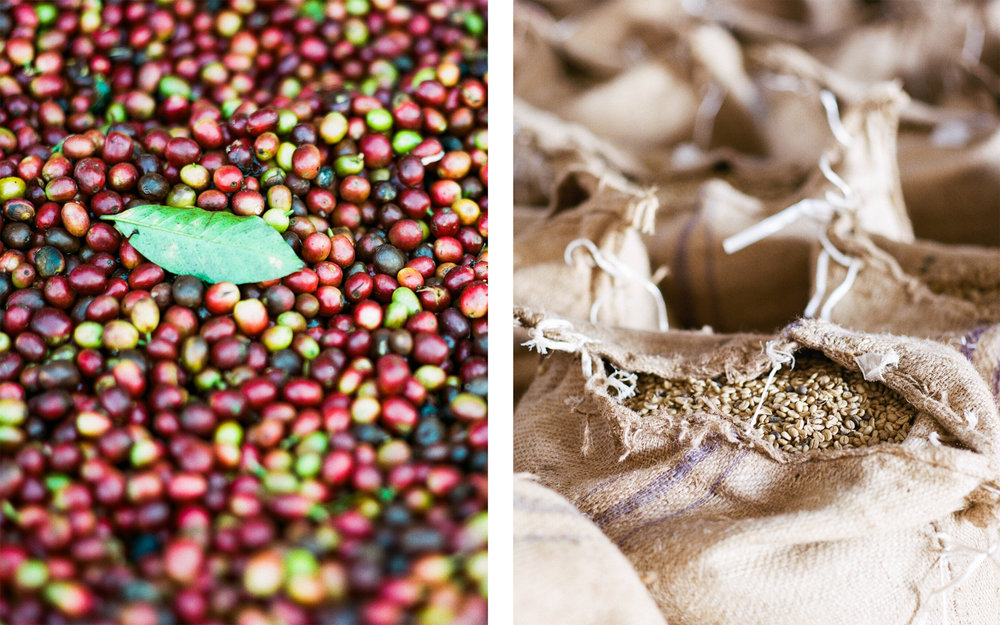 Coffee in Various Stages Puebla, Mexico  2015