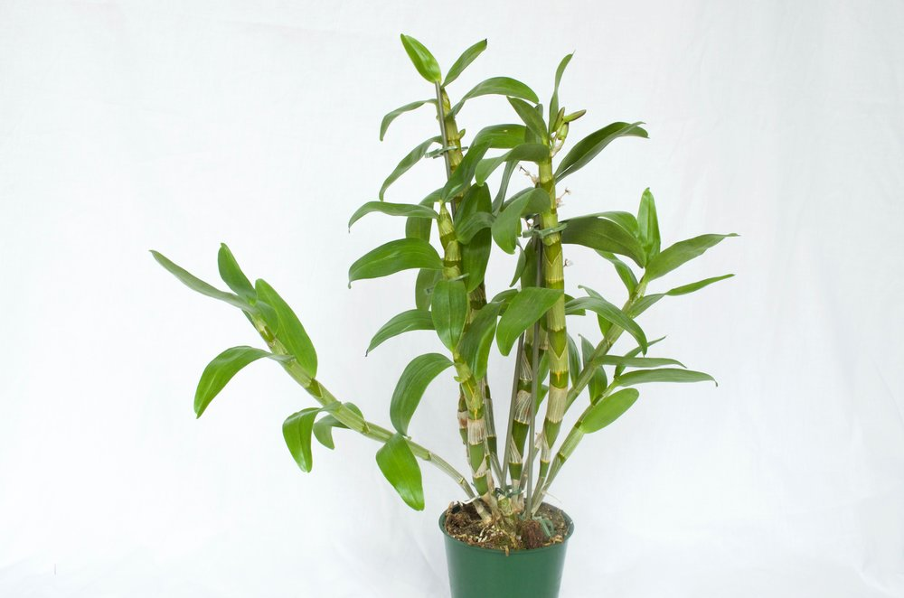 Growing Orchids Basic Care