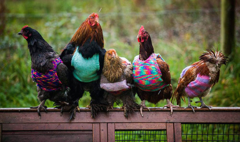knits-chickens