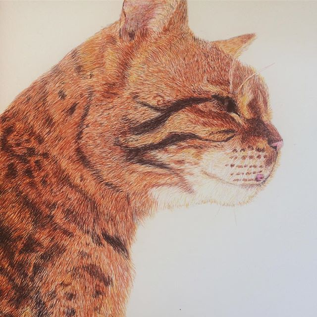 Finally finished biro bengal. • • • • • #finished #art #biro #pen #drawing #bengal #cat