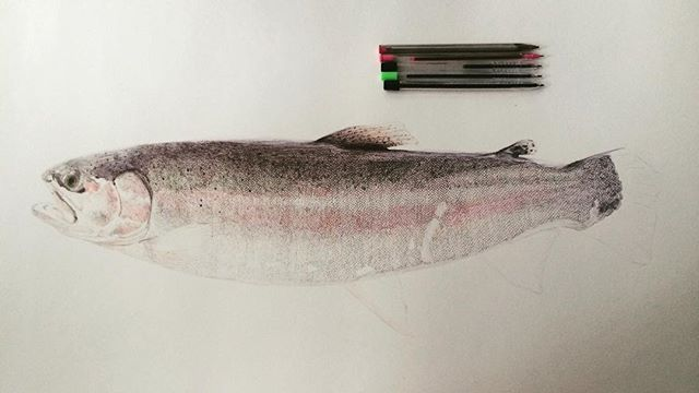 NEARLY THERE!!!!!!! 3 more fins and details to go.  #fish #trout #incomplete #biro #ballpoint #pen #illustration #drawing #rainbowtrout #portrait #animal #fishing #photoofday #art #instart #instadaily