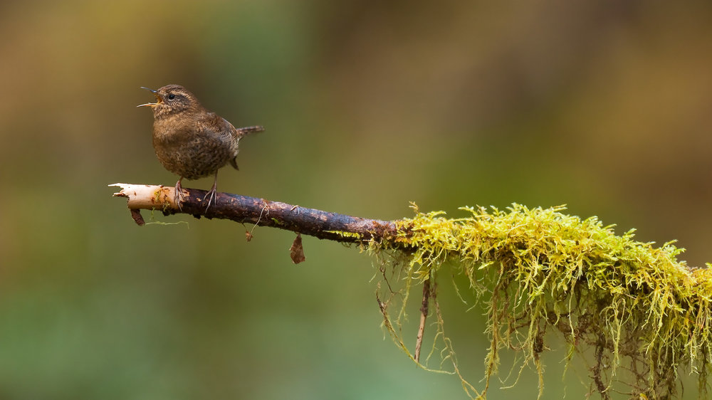 Winter Wren, Hoh Rain Forest, Olympic National Park, WA