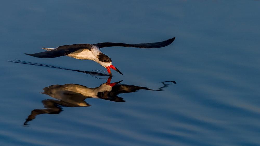 Black Skimmer fishing at Merritt Island National Wildlife Refuge