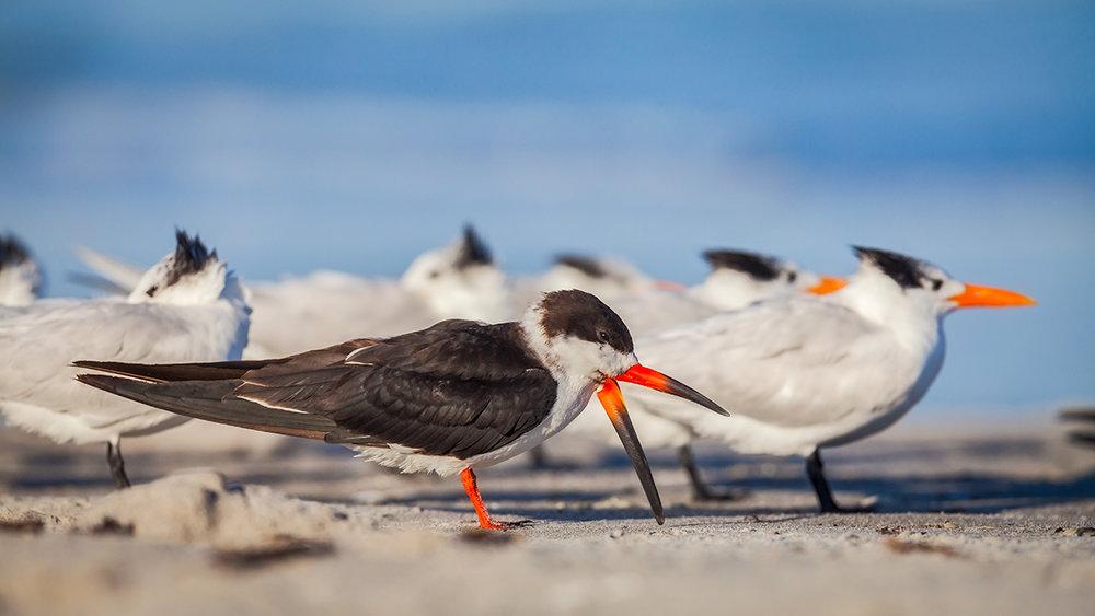 Black Skimmer and Royal Terns