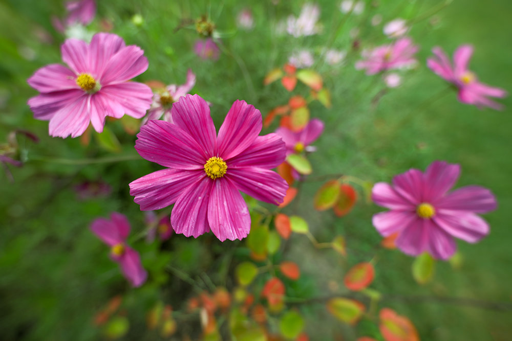 Purple Cosmos, Wilder Park