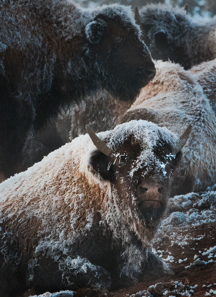 Frosty cow bison