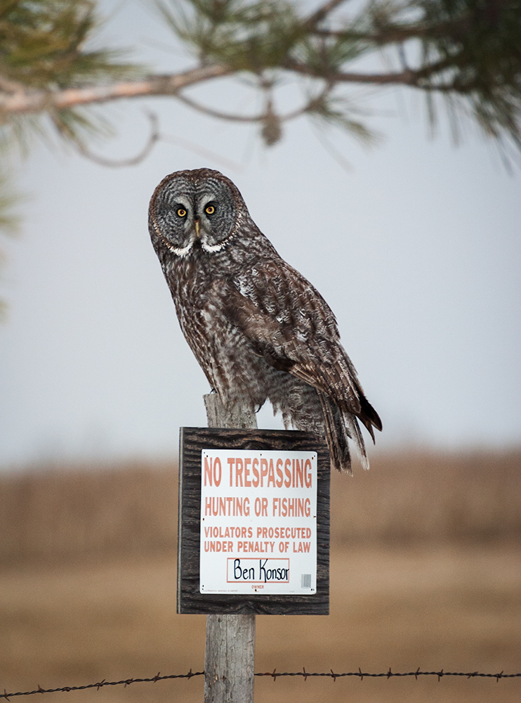 Great Gray Owl, Aitken County, Minnesota
