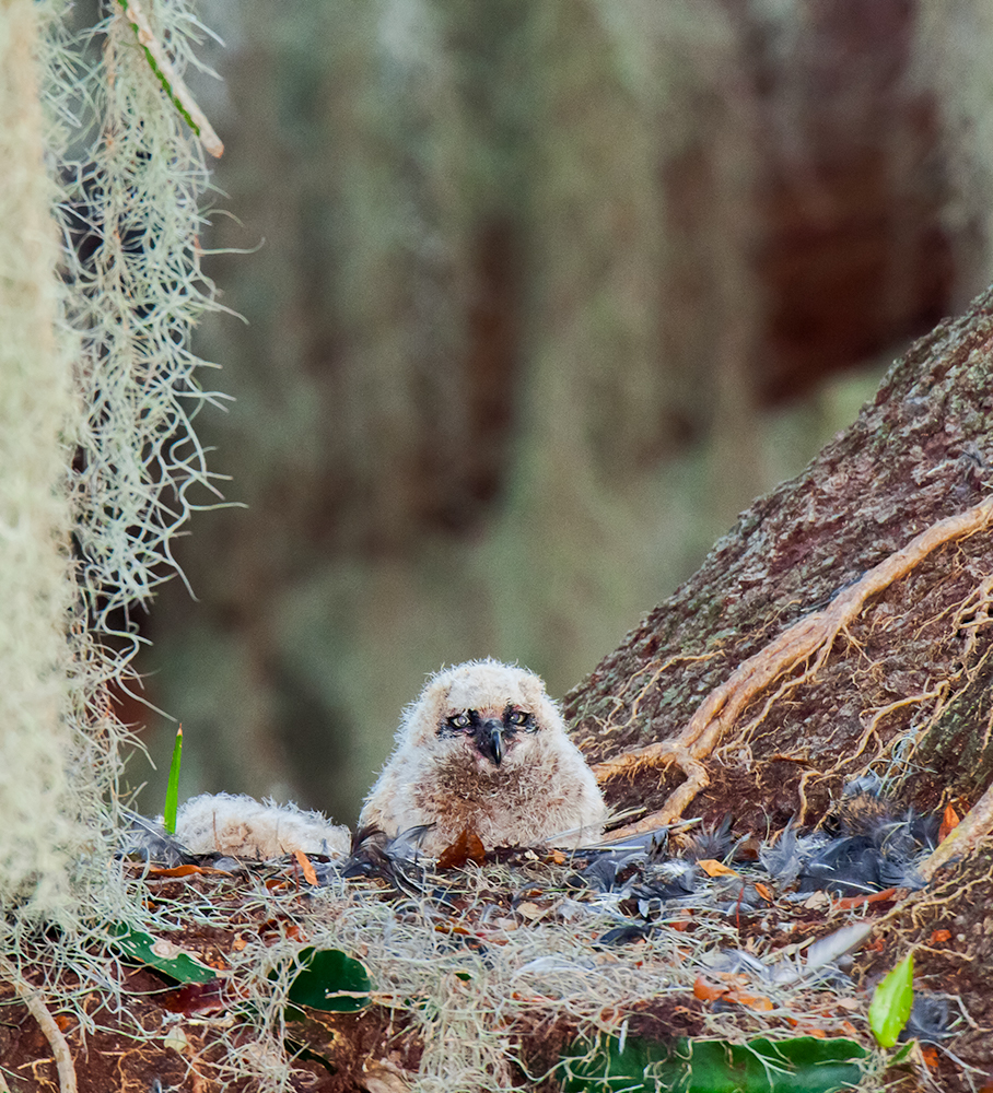 Great Horned Owl chick, St. Cloud, FL