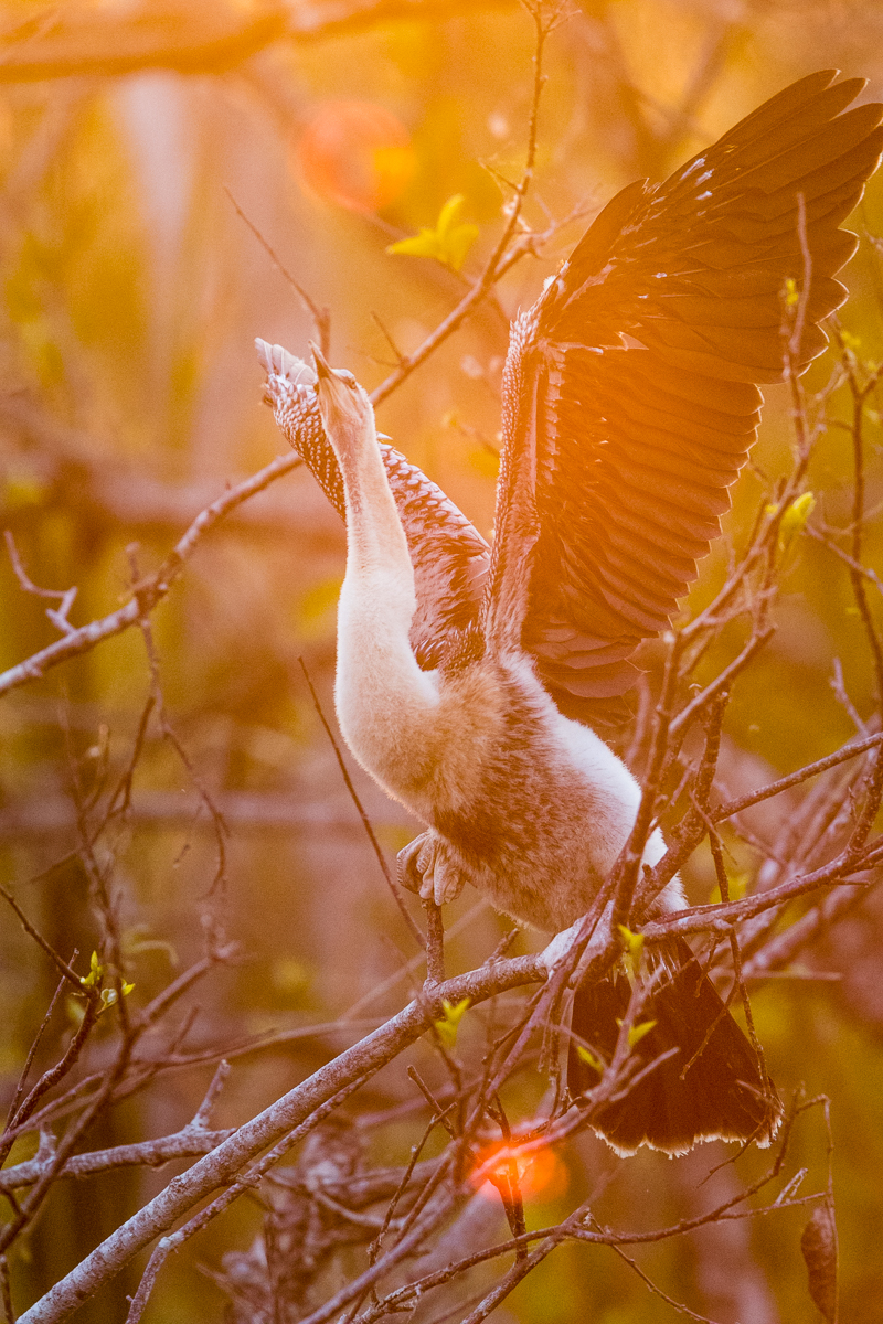 Anhinga chick in sunset light