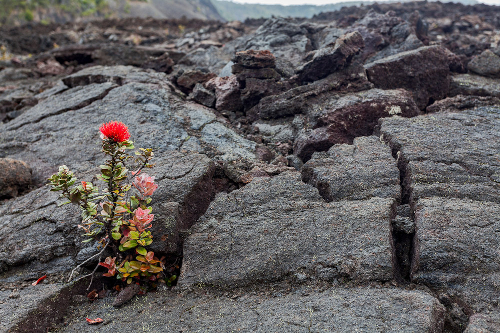 'ōhi'a and other plants gain a foothold in the lava bed.