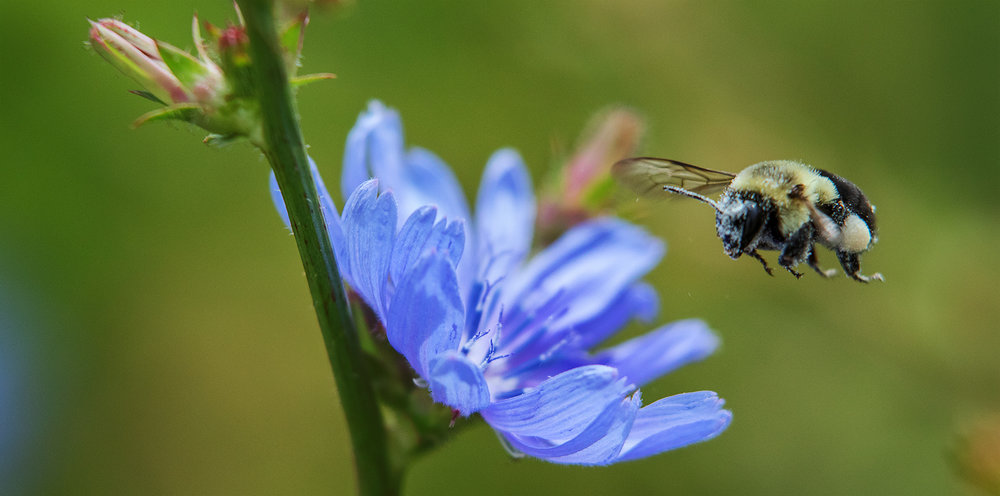 Chicory and hungry bee