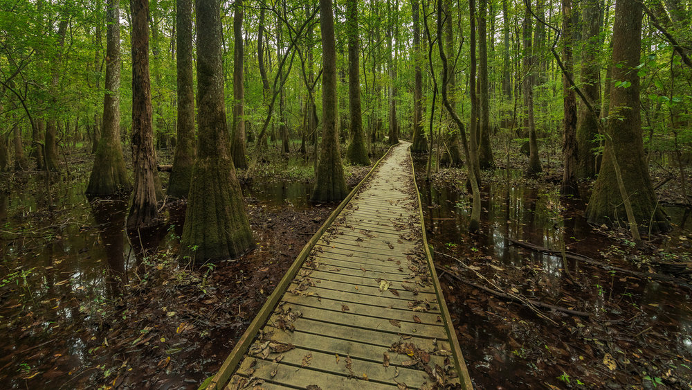 Boardwalk trail among the Tupelo