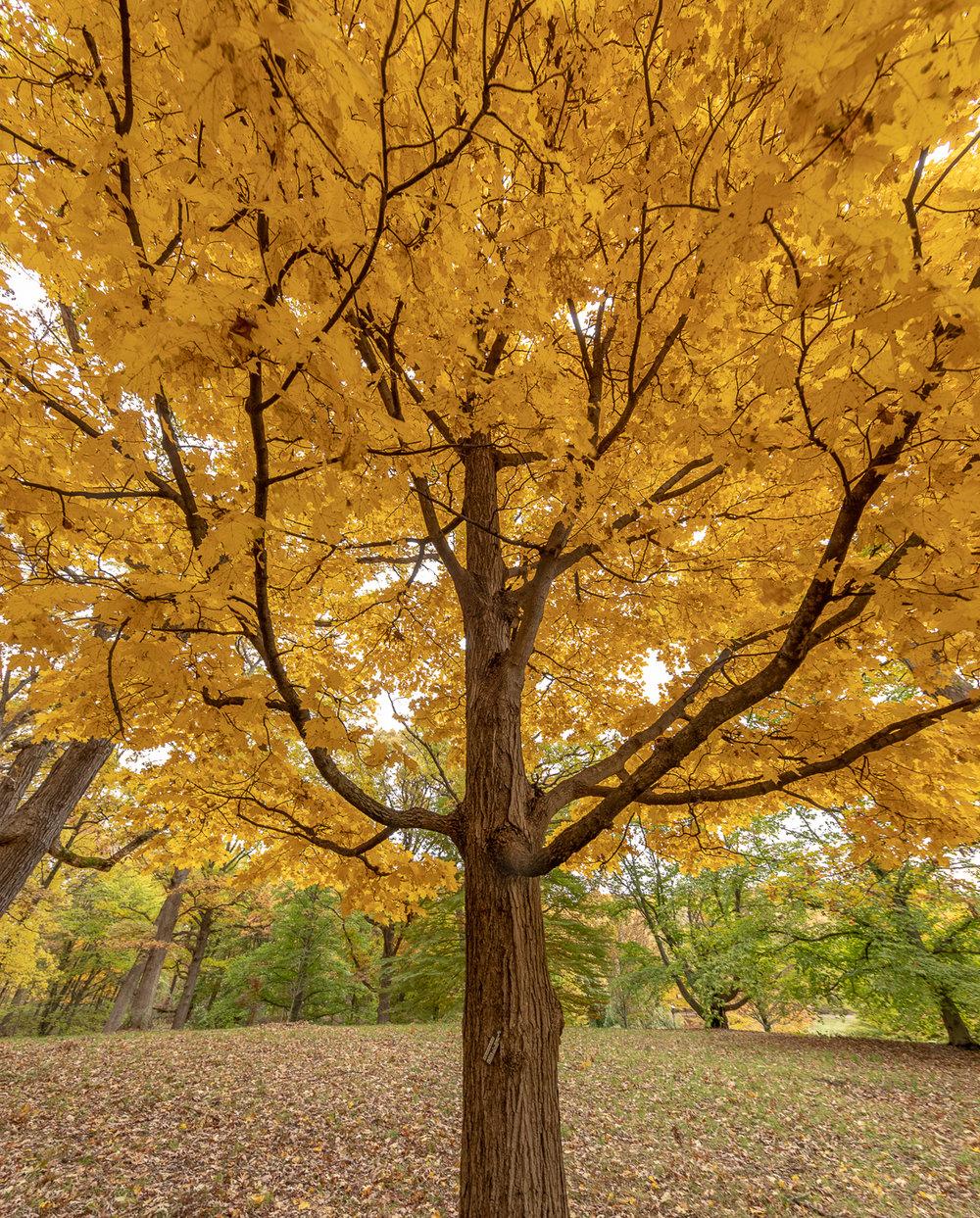 Under the Maple tree