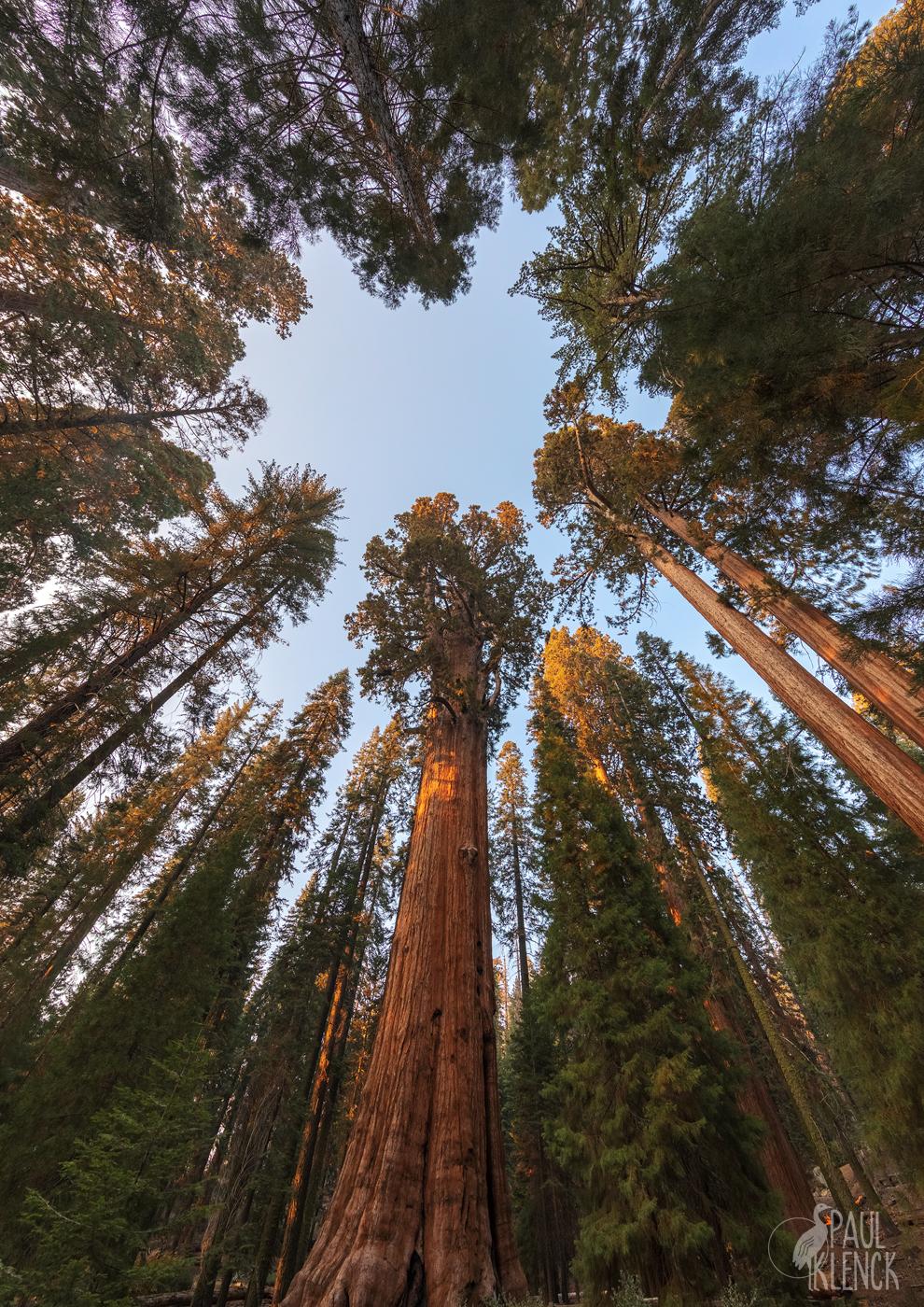 Tree halo