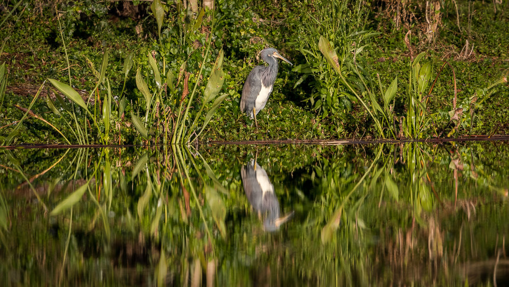 Great Blue Heron framed by Pickerel Weed