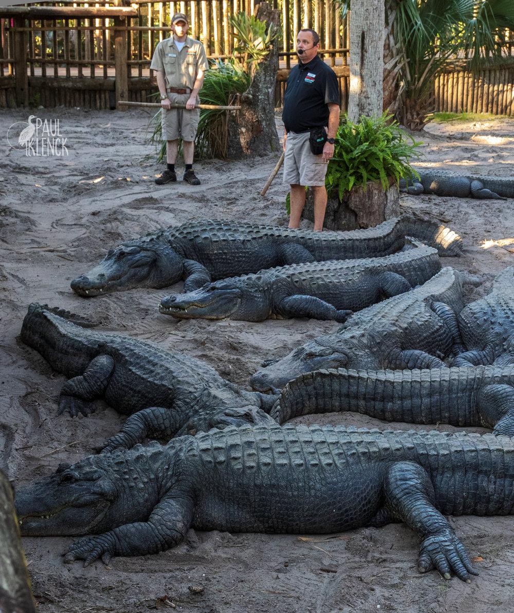alligator farm-trainer 2-307.jpg