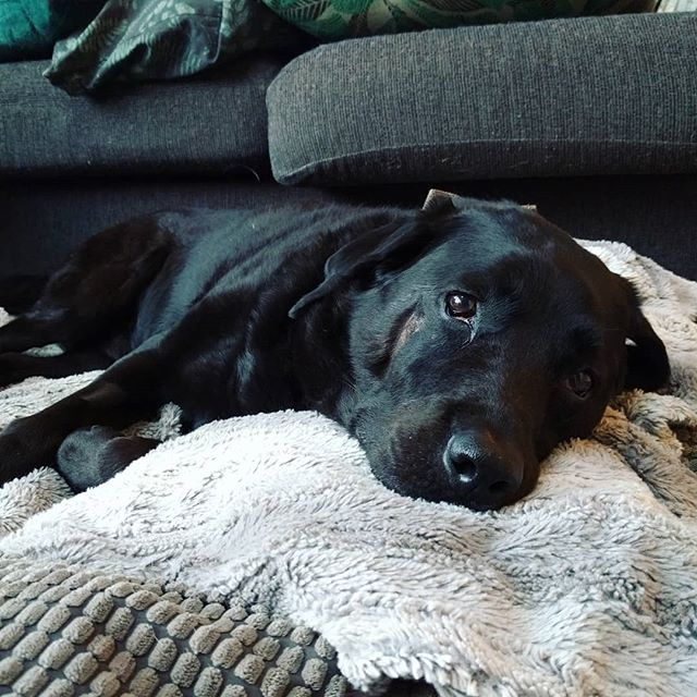 Alfie resting up after some dental surgery today. He had 4 roots instead of 3 on his molar.. so it took ages to remove. What a badass! . . #dogsofinstagram #labrador