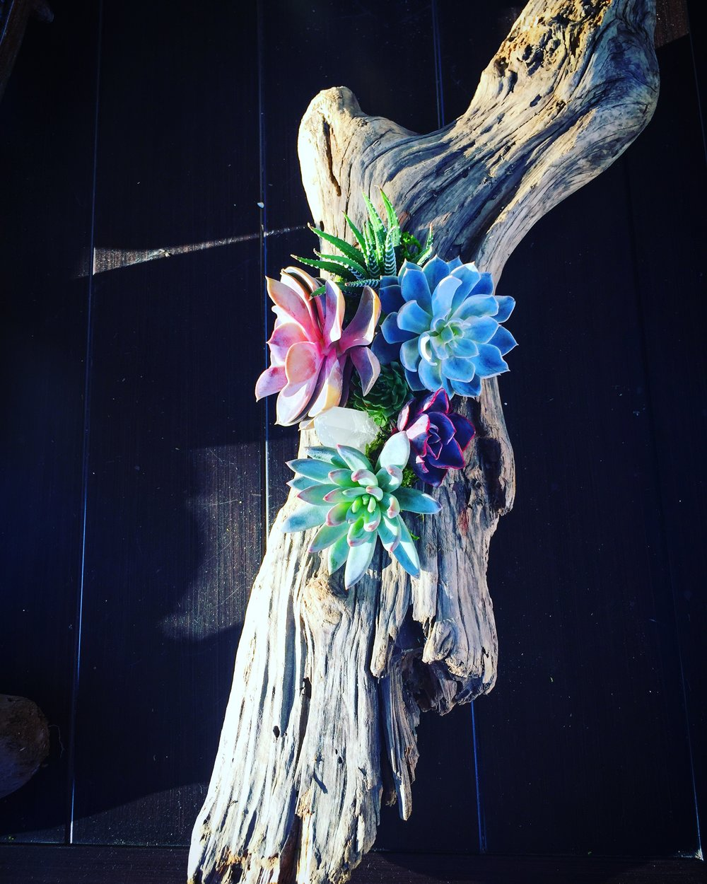 succulents in driftwood -