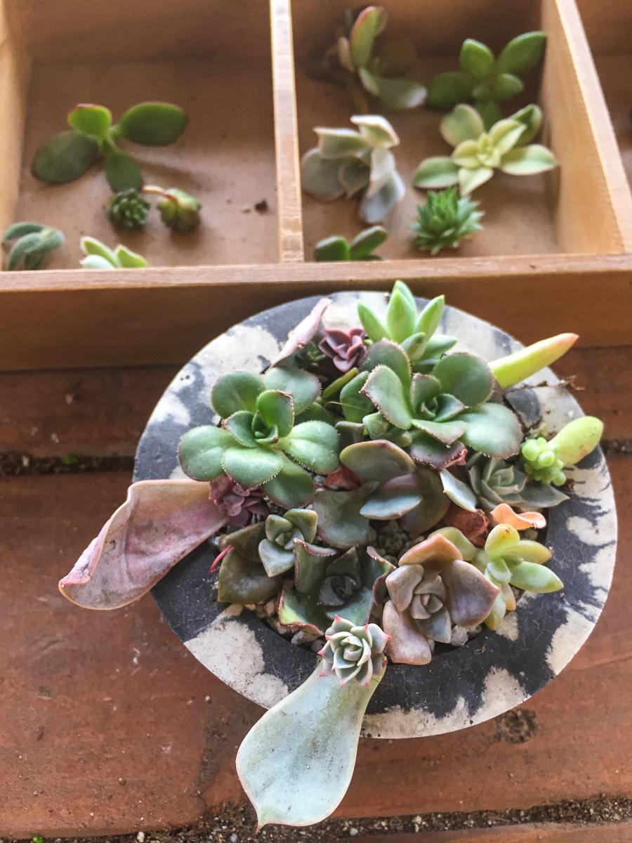infinitesucculent_succulentsandparenthood Photo Dec 26, 3 10 23 PM.jpg