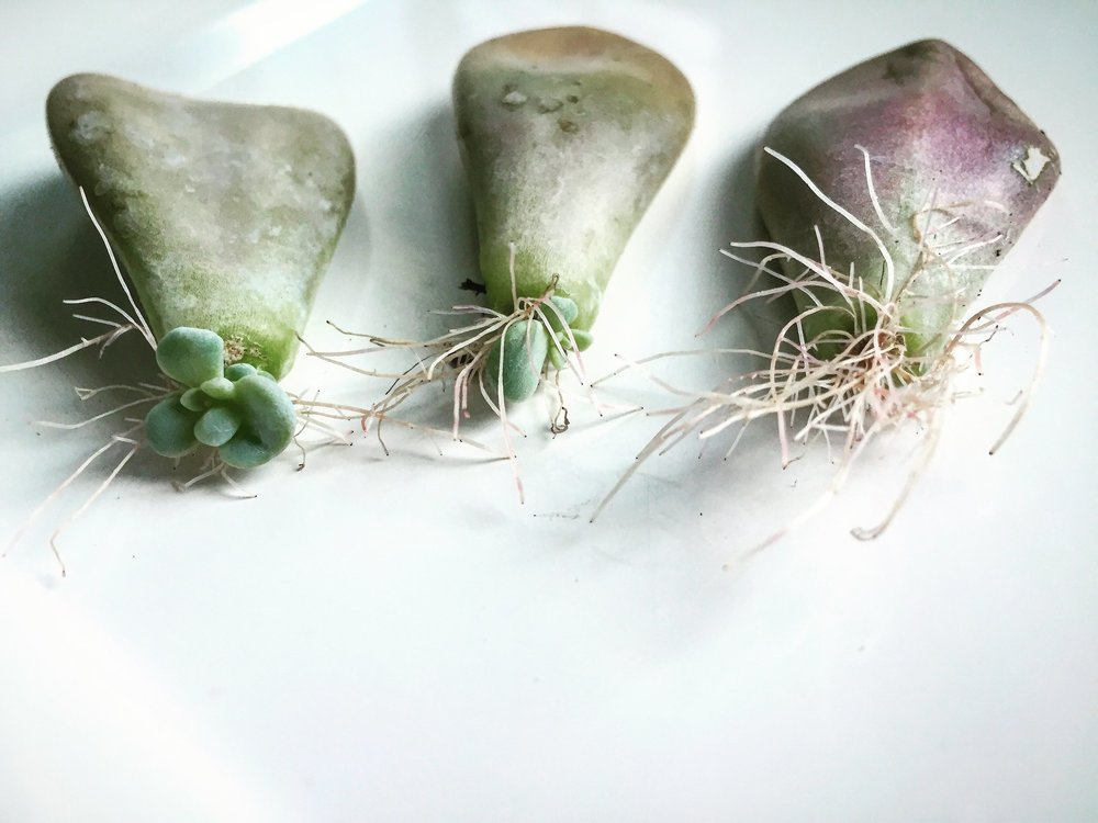 Infinite Succulent Blog- Photo_Succulent Propagation