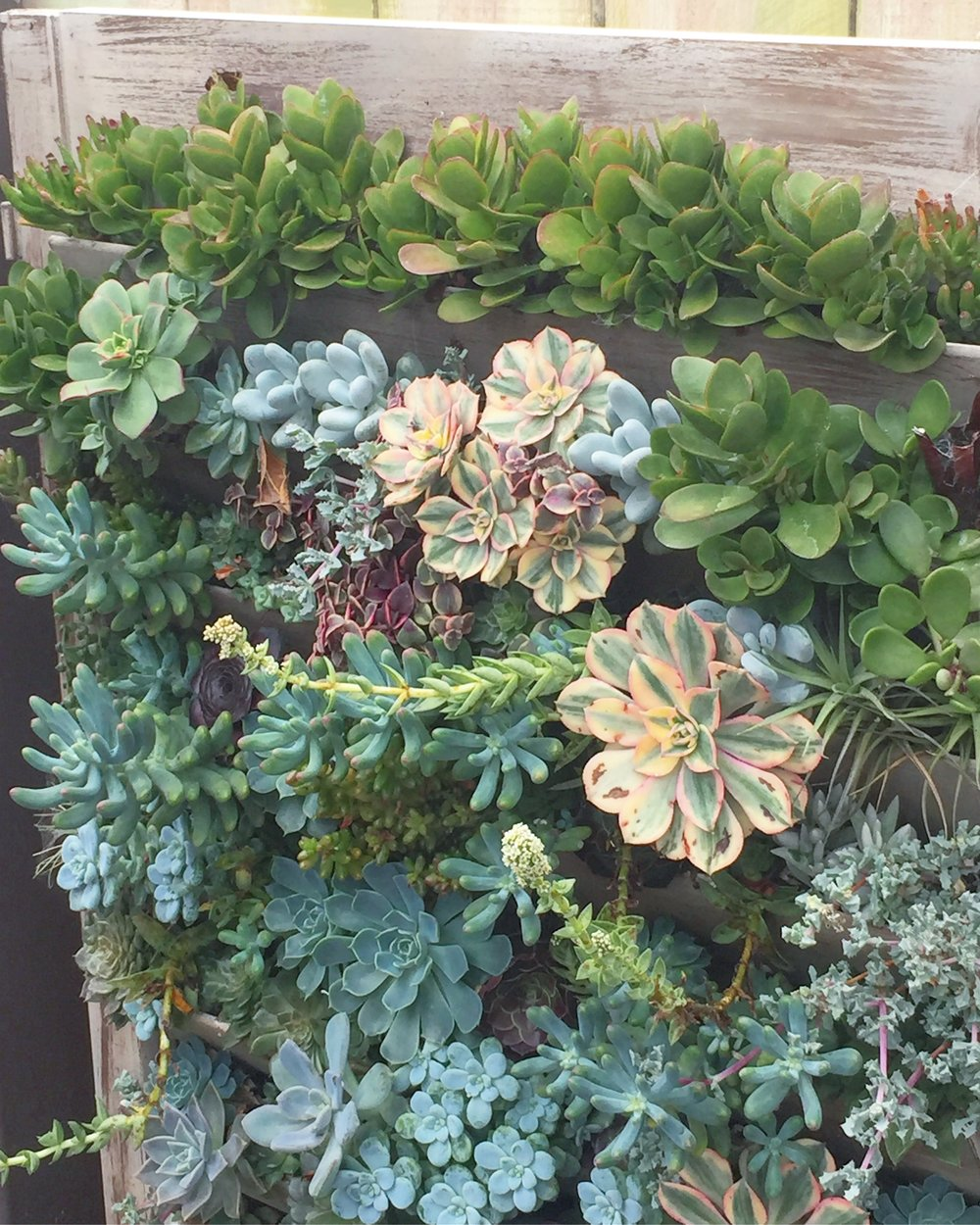Crassula lining the top row of this beautiful planted shutters seen at Succulent Cafe Carlsbad.