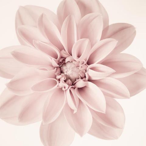 Dahlia #3 by Allison Trentelman -