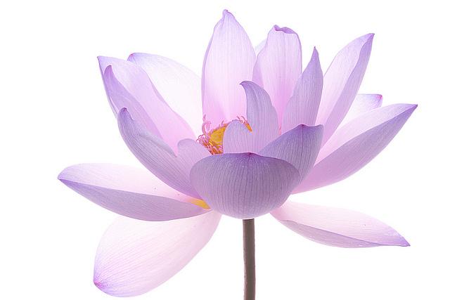 lotus-flower---img-2953-40707.jpg